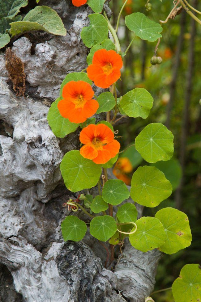 plants de capucine grimpante en godet de 8cm