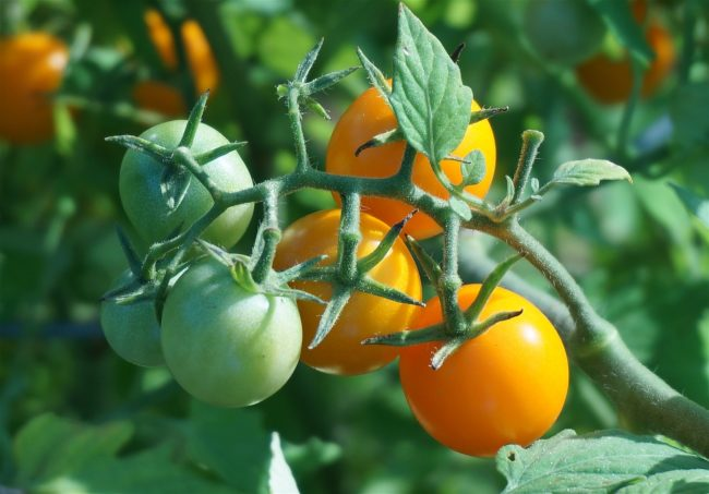 plant tomate cerise jaune