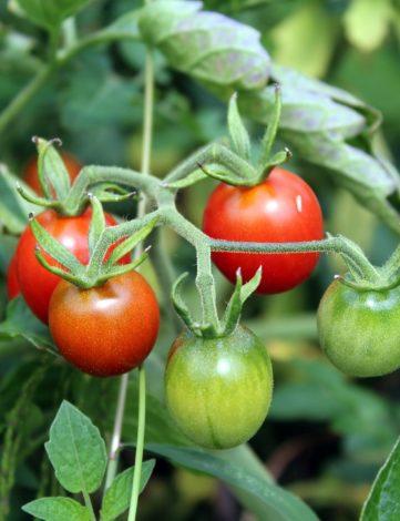 plant tomate cerise rouge