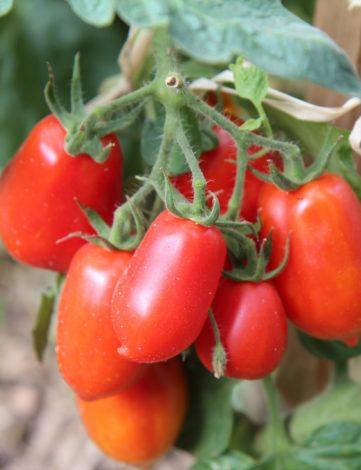 plant de tomate Roma